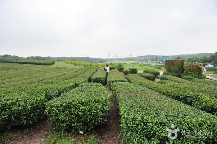 Seogwang Tea Garden (제주 서광다원)
