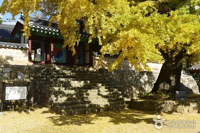서산향교은행나무