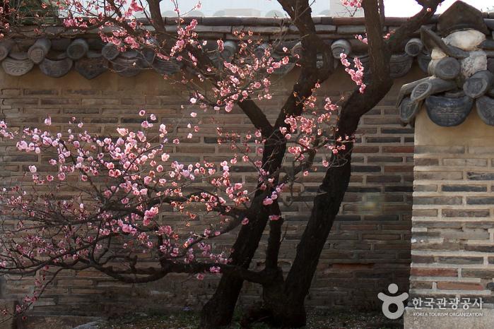 뿌리에서 가지가 뻗어 나와 새로이 꽃을 피우고 있는 만첩홍매
