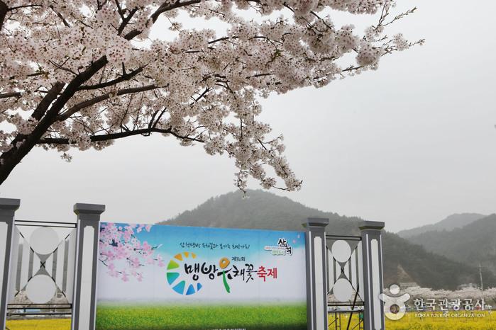 삼척 맹방유채꽃축제 2018