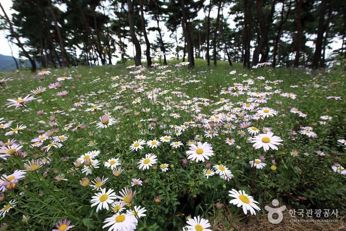 玉井湖イワギクテーマ公園(옥정호 구절초테마공원)