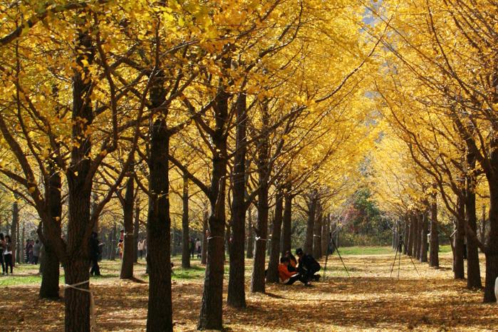 노란 물결 파도치는 홍천 내면 은행나무 숲 3