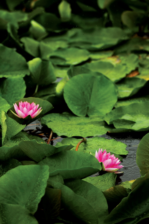 비 내리는 날 연잎사이에 선홍색 수련꽃 두송이가 피어있다.