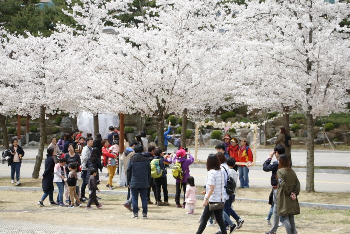 비발디파크 벚꽃축제 2020