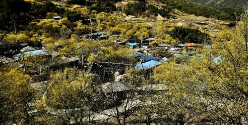 노란 산수유꽃으로 일렁이는 산수유마을 풍경