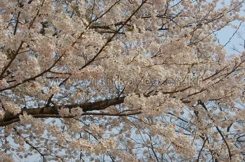 금천 하모니 벚꽃축제 2018