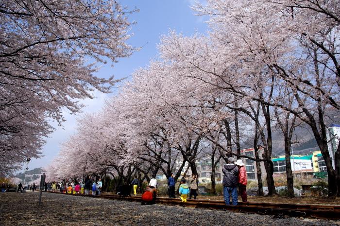 진해 벚꽃-경화역