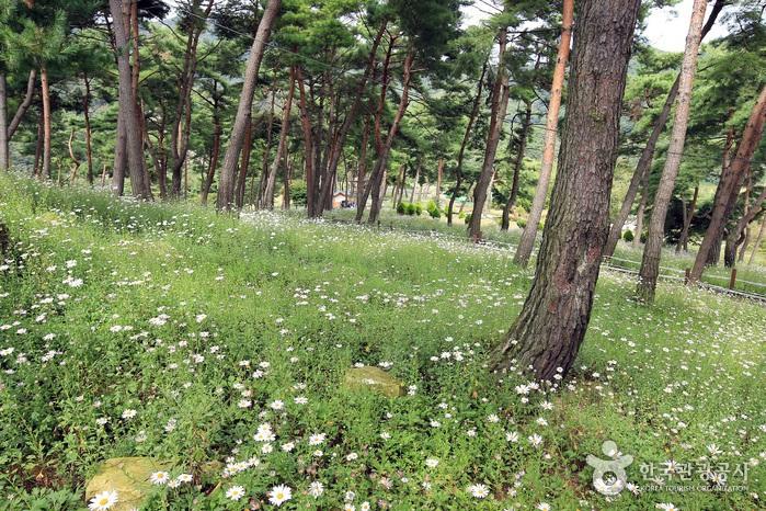 玉井湖九節草主題公園(옥정호 구절초테마공원)