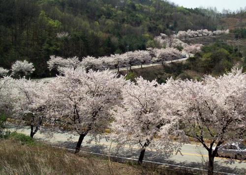 Cheongpunghoban Cherry Blossom Festival (청풍호 벚꽃축제)