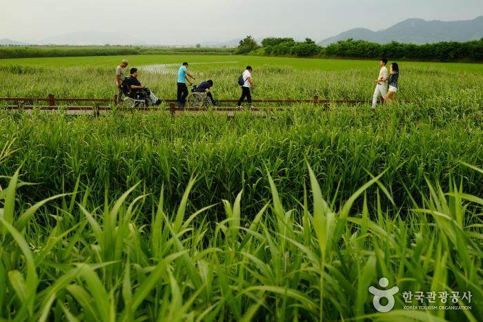 순천만자연생태공원의 진수를 느낄 수 있는 약 1.2km의 갈대숲탐방로- 초록빛 물결의 갈대밭 위에 깔려있는 데크길로 휠체어를 탄 사람 휠체를 밀어주는 사람, 일렬로 가고있다.