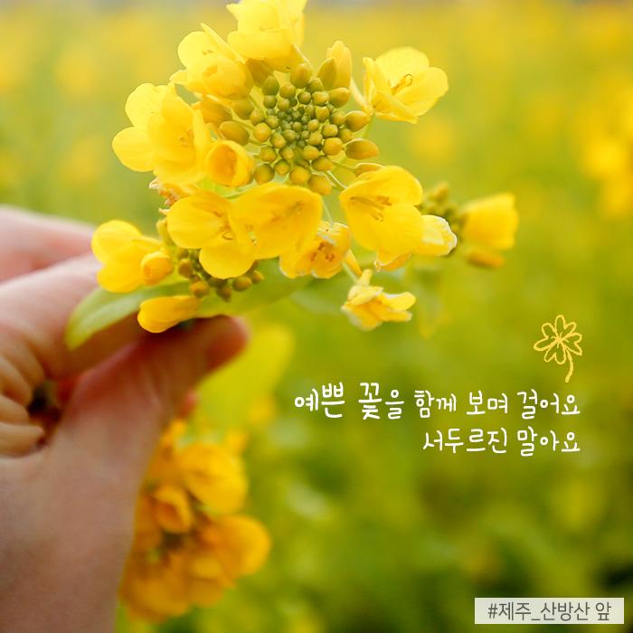 예쁜 꽃을 함께 보며 걸어요 서두르진 말아요 #제주_산방산 앞