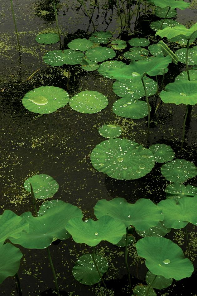 비 내리는 날 연잎위에 맺힌 빗방울은 장관을 이룬다.