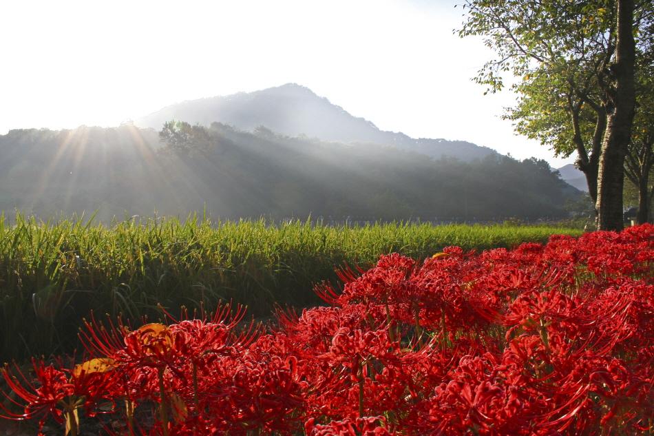 붉은 꽃 융단을 타고, 영광불갑산상사화축제