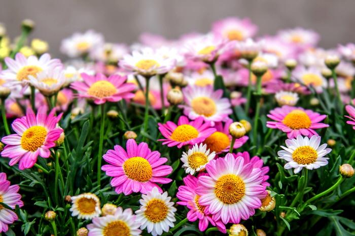 태안 가을꽃 공원 2020