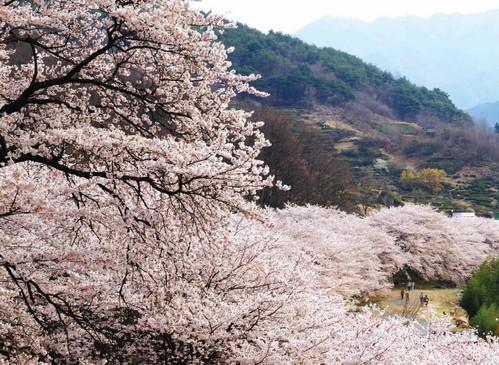 花開市場櫻花節(화개장터벚꽃축제)