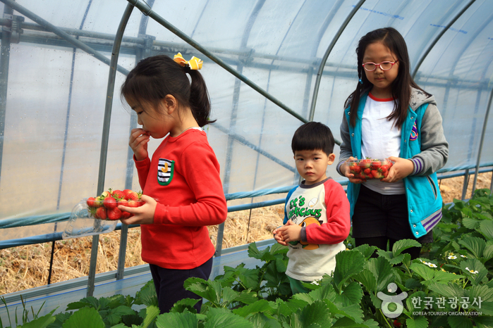 Yangpyeong Strawberry Festival (양평딸기체험축제)