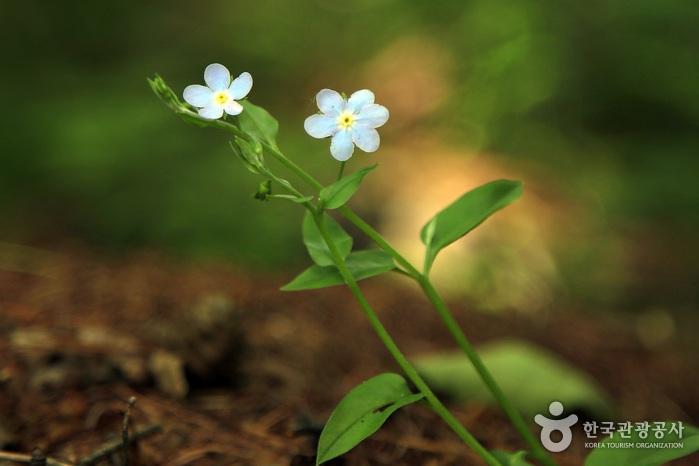 쪽동백 융단 밟고 족도리풀 눈 맞추는 꽃길, 남양주 천마산 사진