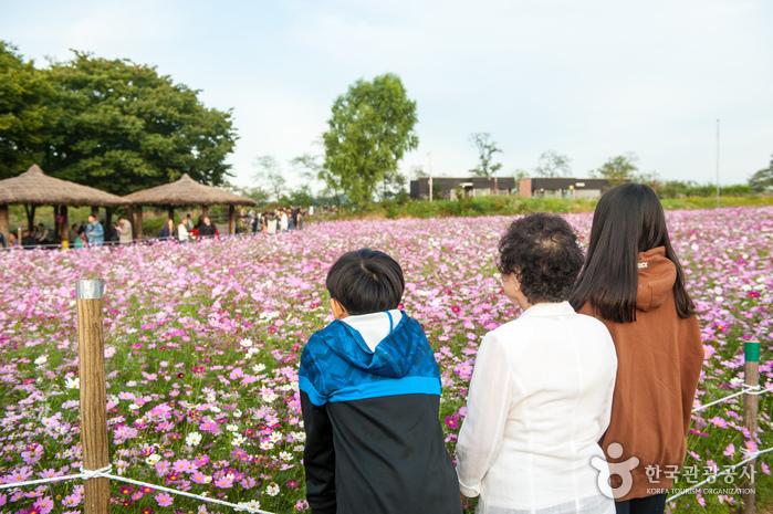 코스모스 꽃밭을 즐기는 가족