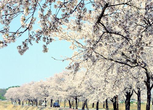 Gyeongpo Cherry Blossom Festival (경포대 벚꽃축제)