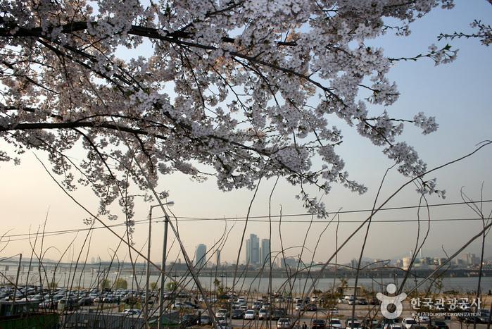 영등포여의도봄꽃축제 2017 사진4