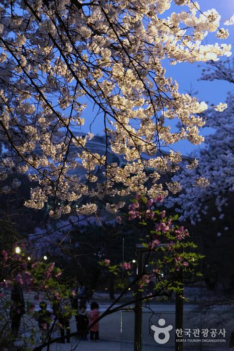 덕수궁은 궁궐 가운데 유일하게 밤 벚꽃을 즐길 수 있다.