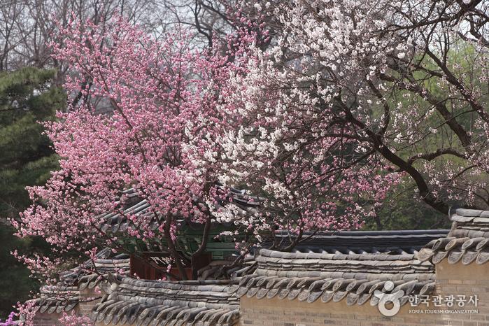창덕궁의 봄꽃잔치