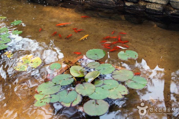 연못에 빨간 잉어들이 있다.