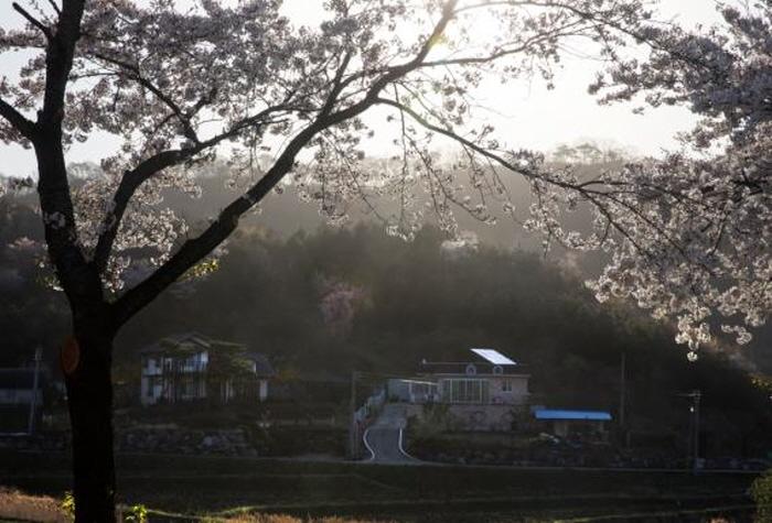天安 慰礼桜祭り(천안 위례벚꽃축제)