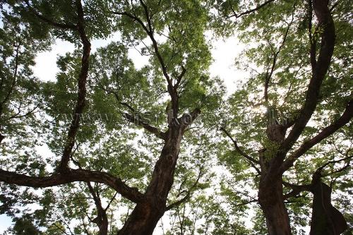 포항 마북리 느티나무 이미지