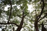 포항 마북리 느티나무