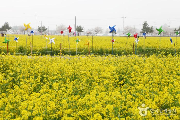 Samcheok Maengbang Rapsblütenfestival (삼척 맹방유채꽃축제)