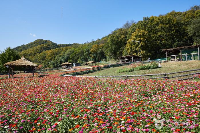 테마목장 내 백일홍 꽃밭은 최고의 포토존이다.