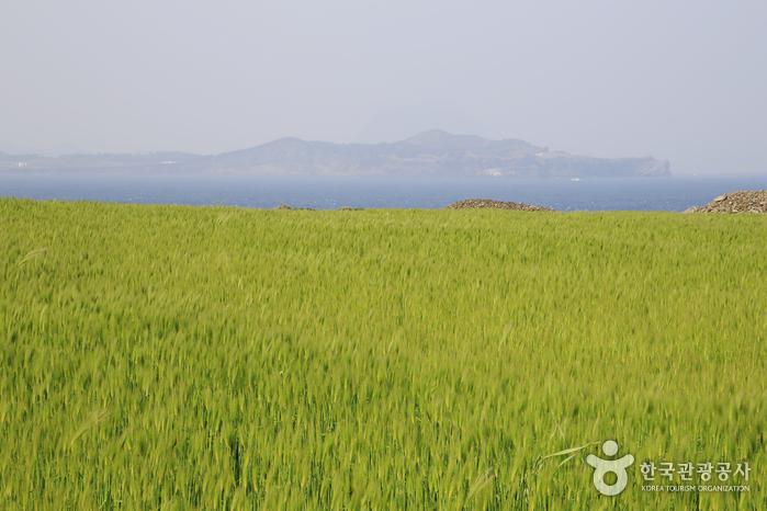 청보리밭 너머 아스라이 송악산이 보인다.