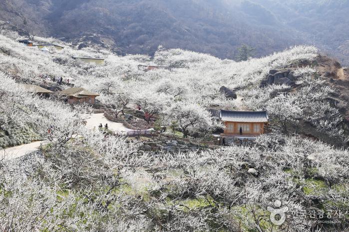 Maehwa-Dorf Gwangyang (광양 매화마을)