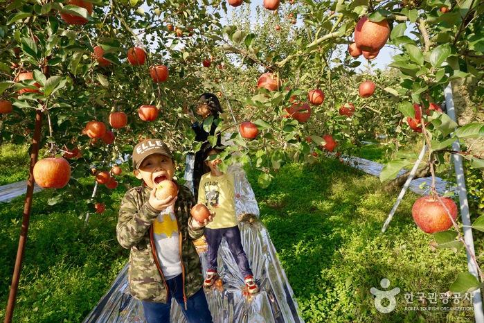 과수원에서 사과를 따는 아이들과 엄마