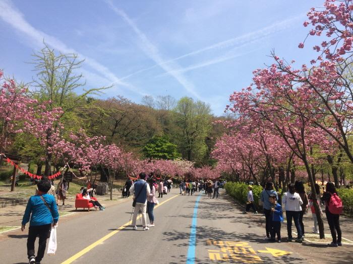 서울대공원 벚꽃축제 2019