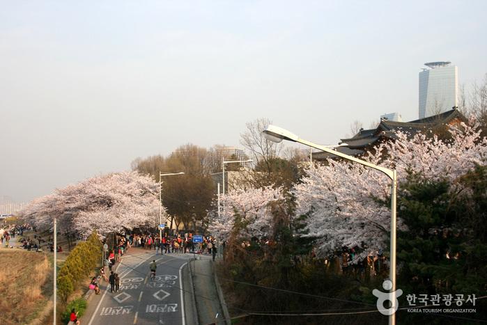 Frühlingsblumenfestival Yeongdeungpo Yeouido (영등포여의도봄꽃축제)