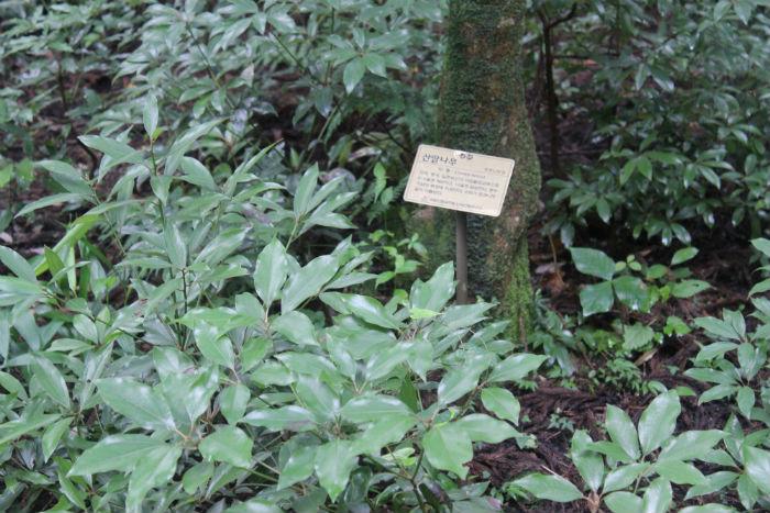 사려니숲길을 걸으면 만날 수 있는 다양한 식물들 - 산딸나무