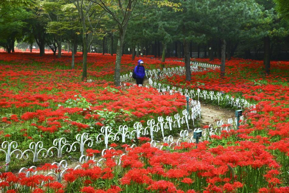 축제 기간에 불갑사를 찾으면 황홀한 꽃길 산책을 경험할 수 있다.