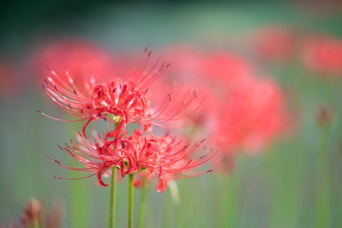 한림공원 꽃무릇축제 2019