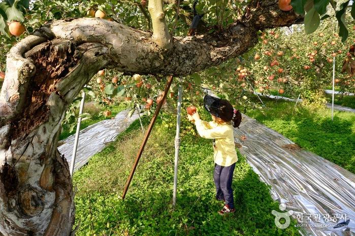 사과나무에서 사과 하나를 따는 어린이