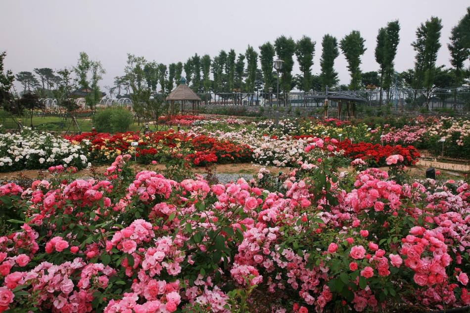 5월이면 곡성세계장미축제가 열리는 섬진강기차마을 장미공원 _사진 제공 곡성군청