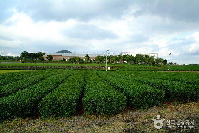 Jeju O'sulloc Festival