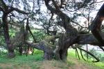 청송 장전리 향나무