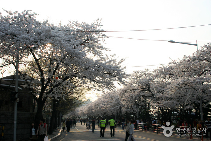 영등포여의도봄꽃축제 2017 사진6