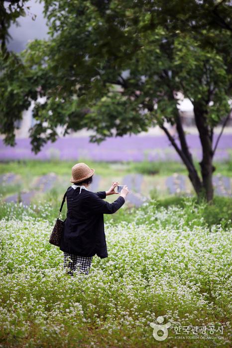 흰색꽃이 한가득 피어 있는 곳으로 들어가 사진 찍는 여인