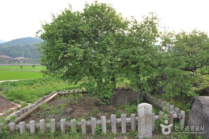 강화 사기리 탱자나무
