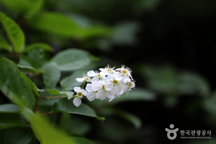 귀룽나무의 꽃