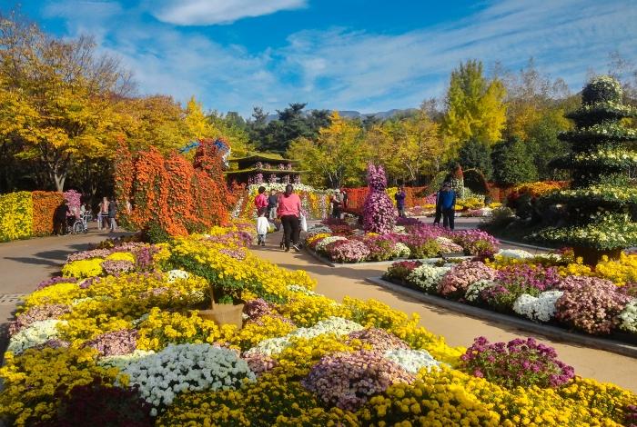 대구수목원 국화축제(대구수목원 제공) - 가지각색 만발한 국화꽃 정원
