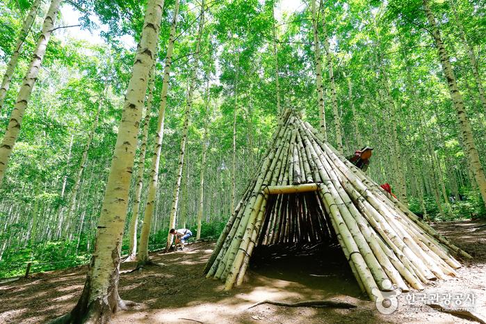 Березовый лес Вондэри (인제 원대리 자작나무 숲)